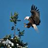 Bald Eagle-5-