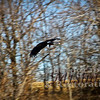 Falconry Hunt-Friday 11-29-2013