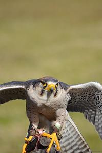 Lenner Falcon