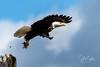 Bald Eagle-4714