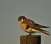 American Kestrel, male (Falco sparverius)
