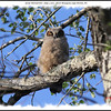 Great Horned Owl - July 1, 2010 - River Bourgeois, Cape Breton, NS