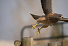 Swainson's Hawk (Buteo swainsoni) - Probably a male