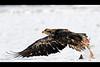 Bald Eagle-9-1-3229