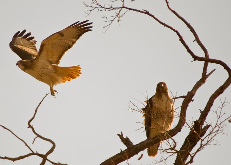 Red Tailed Hawks (Buteo jamaicensis)