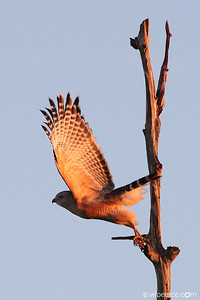 Lift Off!  Red Shouldered Hawk.  Viera Wetlands at dawn.