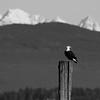 Bald Eagle-6-