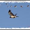 Northern Harrier - July 24, 2010 - Hartlen Point, Eastern Passage, NS