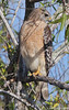 Red Shouldered Hawk.  Shark Valley Loop, Everglades Get notifications via:
