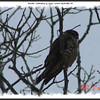 Merlin - February 14, 2009 - Lower Sackville, NS