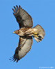Red-Tailed Hawk.  Pottsburg Creek Get notifications via: