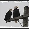 Bald Eagles - September 25, 2010 - Grand Pre, NS (Photo by Michel Viau)