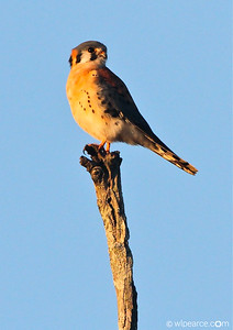 American Kestrel.  Pottsburg Creek. Get notifications via: