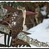 Sharp-shinned Hawk - December 31, 2013 - Lr Sackville, NS