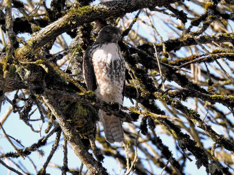 Red Tailed Hawk (Buteo jamaicensis) - Light juvenile (1st year)