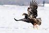 Bald Eagle-8-3213
