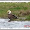 Bald Eagle - June 14, 2007 - River Bourgeois, Cape Breton, NS