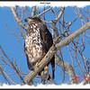 Bald Eagle - February 11, 2007