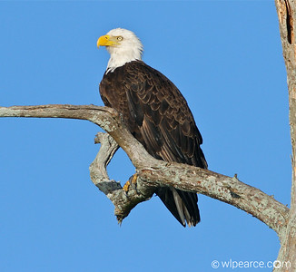 Bald Eagle just sittin' around.  Pottsburg Creek. Get notifications via: