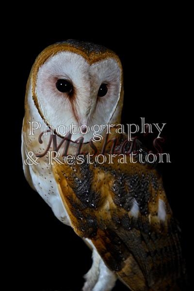 Hiss: Barn Owl