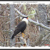 Crested Caracara - April 1, 2013 - Lawrencetown Beach, NS