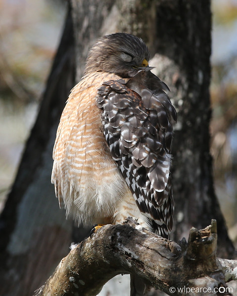 zzzzzzzzzz... Red Shouldered Hawk taking a snooze.  Sweetwater Strand, Everglades.
