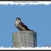 American Kestrel - September 21, 2008 - Cape Sable, NS