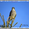 Merlin - February 9, 2014 - Rainbow Haven, NS