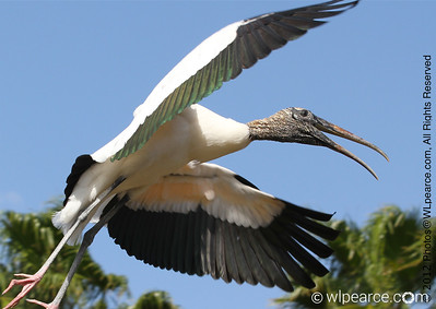 Florida Wood Stork Get notifications via:
