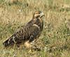 Swainson's Hawk (Buteo swainsoni) - juvenile