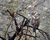 Red Tailed Hawks (Buteo jamaicensis) - 1st year juvenile back