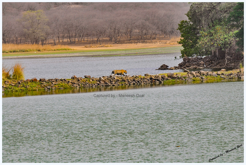 T-28 walks towards the King's Hunting Palace on the side of Rajbagh Lake - Record shot