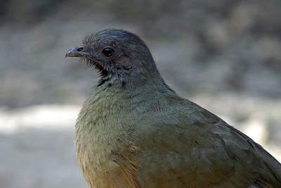 The Chachalaca is a bird that is common along the Rio Grande.  After you say his name you almost want to dance.  He was photographed in Bentsen-Rio Grande State Park.