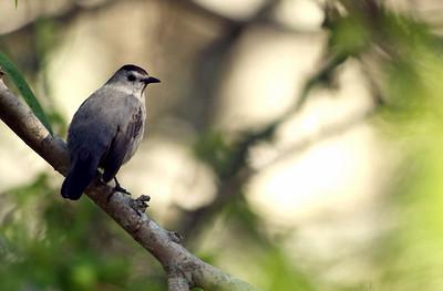 GryCatbird