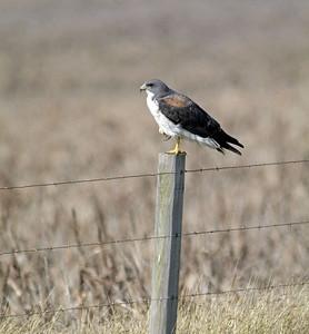 Whitetail Hawk