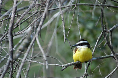 This is a Great Kiskadee taking a mid-morning siesta.  This is a very common bird along the Rio Grande Valley.