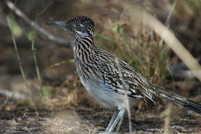 This Greater Roadrunner was busy jumping on a bug and did't pay any attention to the photographer with the long lens.   He was photographed in Bentsen-Rio Grande State Park.