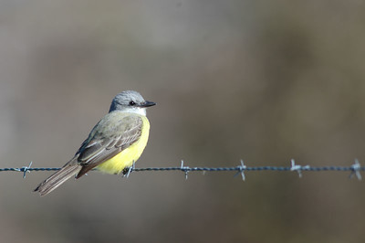 This is a Couch's Kingbird photographed at the Bay City Birding Center.