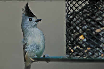 This little Black-crested Titmouse is the Mexican variety of the common Tufted Titmouse.  He was photographed in Bentsen Rio Grande State Park.
