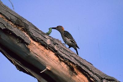 Golden-fronted Woodpecker+Worm