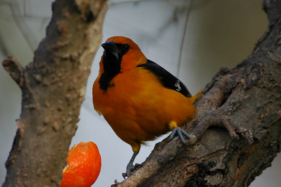 This Altamaria Oriole was photographed in Bentsen Rio Grande State Park.
