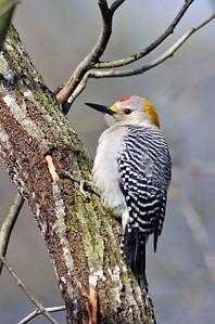 GoldenFronted Woodpecker