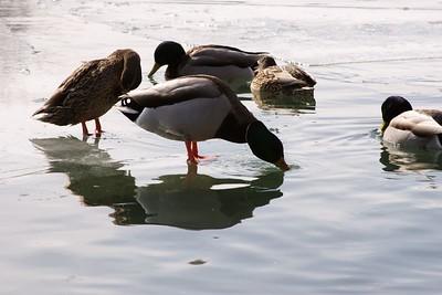 Mallard Duck Drinking