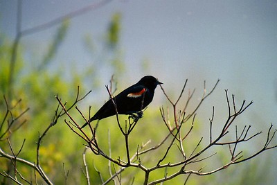 Redwing Blackbird (male), Humber Bay Park