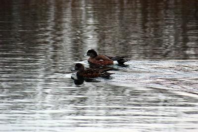 Wood Ducks, Humber Bay Park
