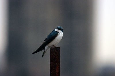 Tree Swallow, Humber Bay Park