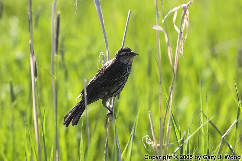 Redwing Blackbird (female)