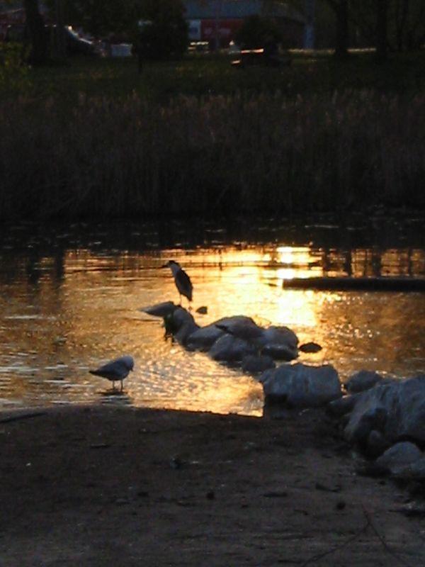 Black-Capped Heron At Sunset, Humber Bay Park