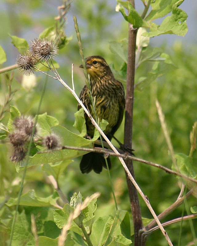 Redwing Blackbird (female), Col. Samuel Smith Park