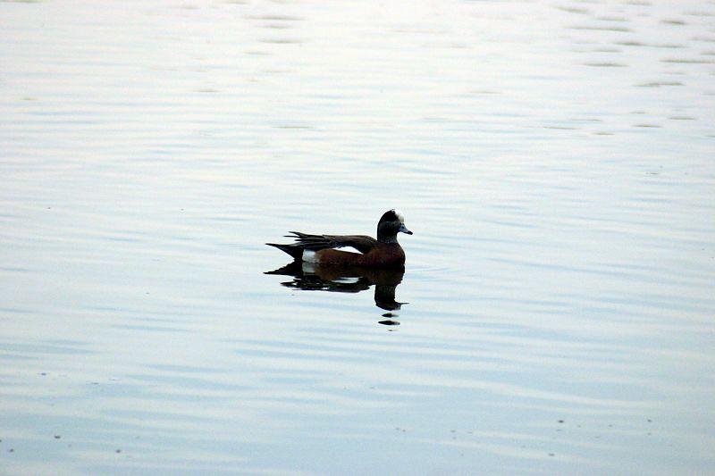 Wood Duck, Mimico Marina